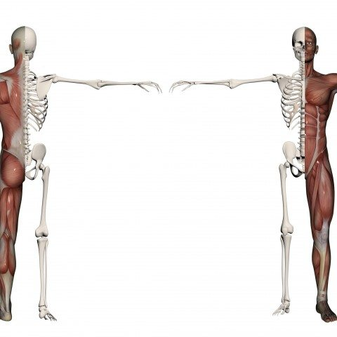 Anatomical diagram and a human male