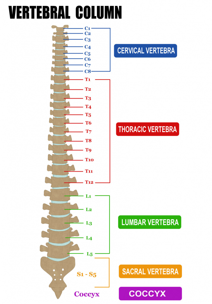 A detailed diagram of the spine and its various regions