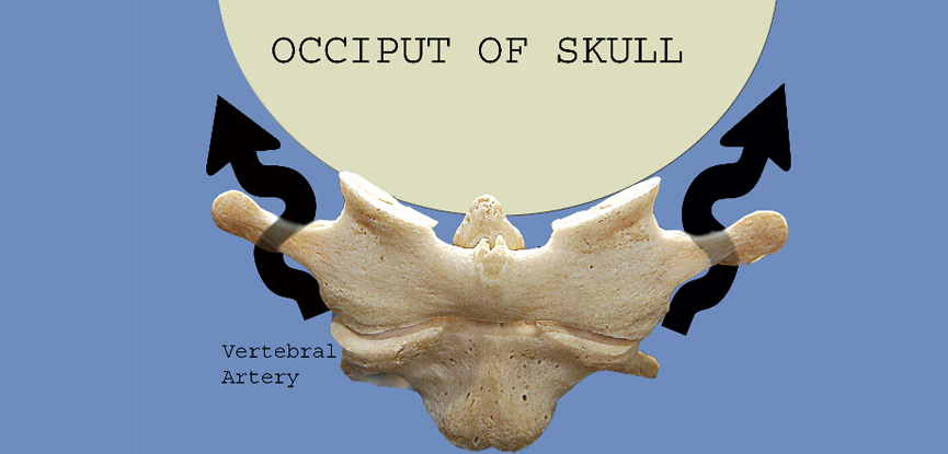 This photo show hows the position of the skull relates to the second cervical vertebra