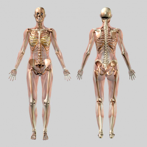 Anterior and posterior skeleton images